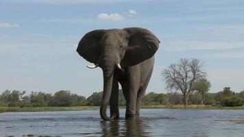 un elefante toro che beve al fiume, Botswana