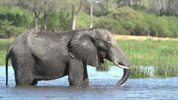 câmera lenta de banho de lama de elefante touro, delta de okavango, botswana video