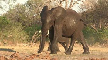 Toro giovane elefante bagnato che cammina fuori dall'acqua, Botswana