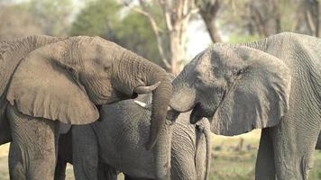 due giovani tori di elefante che si incontrano e salutano, Botswana