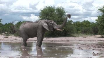Elefante salvaje (Elephantidae) en la sabana africana de Botswana