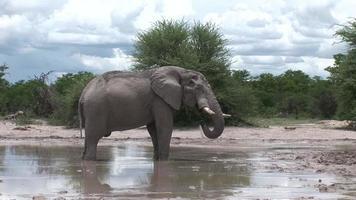 Éléphant sauvage (elephantidae) dans la savane africaine du Botswana