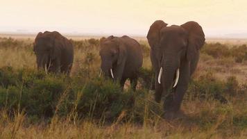Les éléphants mangent de l'herbe dans le parc Amboseli, Kenya