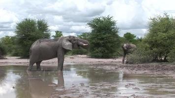 wilder Elefant (Elephantidae) in der afrikanischen Botswana-Savanne