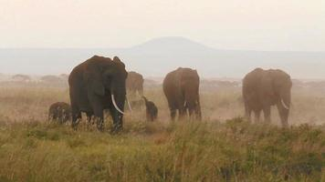 elefanti che mangiano erba nel parco di amboseli, kenya