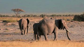 elefantes caminhando no parque amboseli, quênia video