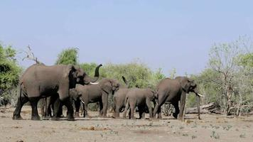 Afrikaanse olifant in Chobe National Park video