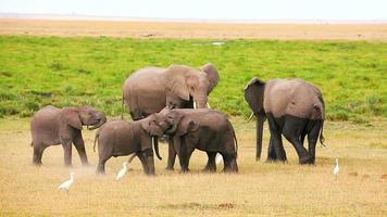 elefanti che giocano nel parco di amboseli, kenya