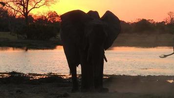 polvere di elefante che bagna al tramonto, Botswana