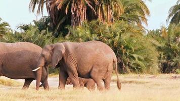 elefantes caminhando no parque de amboseli, quênia video