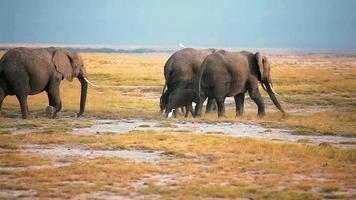 Les éléphants marchant dans le parc Amboseli, Kenya