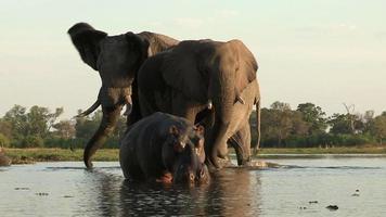 ungewöhnliche Aufnahmen von Nilpferd mit Elefanten, die im Hintergrund, Botswana trinken