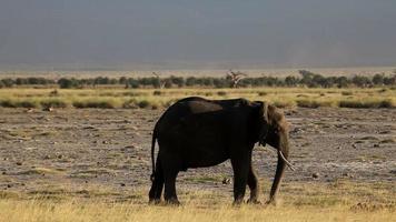 elefante comendo grama no parque amboseli, quênia video