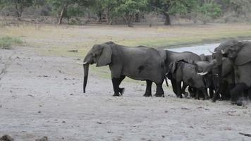 herd of African elephants going out from waterhole