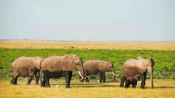 Elephants in Amboseli Park, Kenya