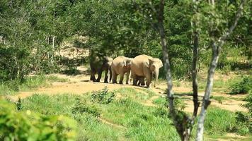 elefante asiático, en, bosque tropical