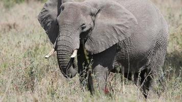 Elephant eating grass in Serengeti video
