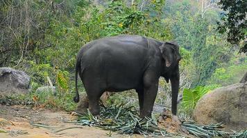 elefante comiendo en el bosque video