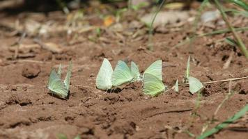butterflies drinking mineral from sand