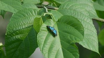 Schmetterling ruht auf dem Blatt und fliegt weg video