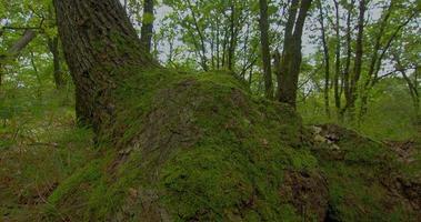 hdr floresta time lapse shot motorizado slider. lapso de tempo da floresta, musgo da árvore, fundo de floresta de outono de carvalho.