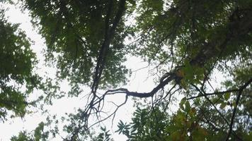 olhando para o topo das árvores