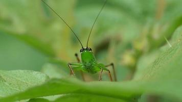 long horned grasshopper moving its antenna