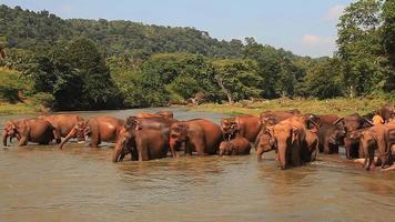 les éléphants entrent dans la rivière.