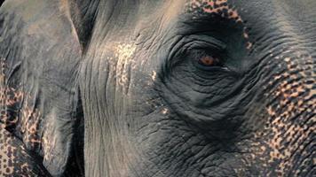 Elefantenauge, das Nahaufnahme schaut video