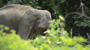 elefante maschio nella foresta video