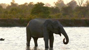Elephant drinking from water hole video