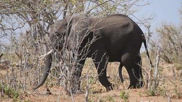 elefante no parque nacional de chobe