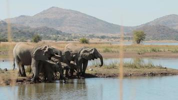 elefantes bebendo do bebedouro