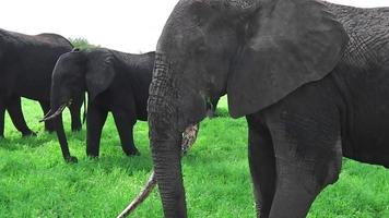 Elefant frisst und kratzt