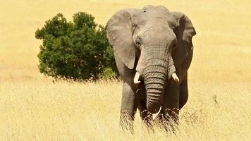 Elefant in Masai Mara