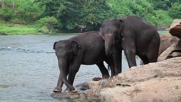 elefanti nel fiume