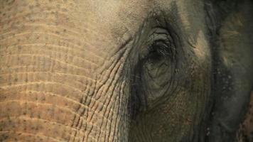 elefante asiático close-up