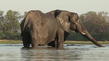elefante vaca bebiendo, botswana