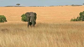 elefante em masai mara video