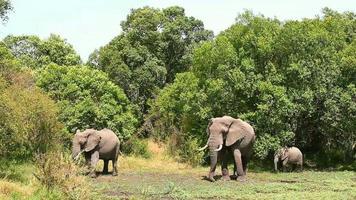 elefantes em masai mara video