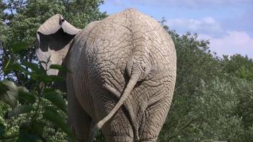 elefante com cauda abanando.