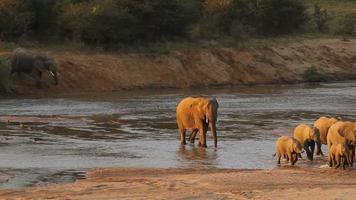 Elefanten überqueren einen Fluss. video