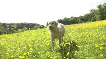 Secuencia de cámara lenta de golden retriever corriendo en el campo