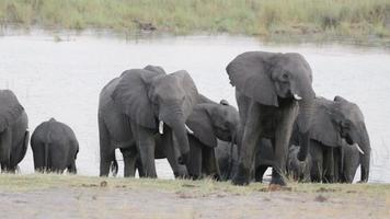 manada de elefantes africanos en abrevadero