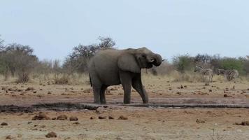 Los elefantes africanos bebiendo en un abrevadero fangoso