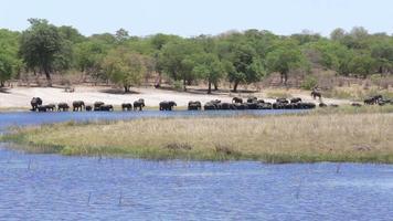 Herde afrikanischer Elefanten, die aus dem Fluss trinken