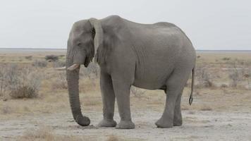 grandes elefantes africanos en el parque nacional de etosha