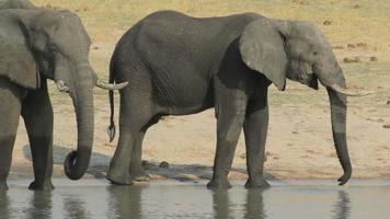 Elefantes africanos bebiendo en abrevadero