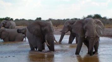 Acción de baño de la familia de elefantes en un abrevadero de África video
