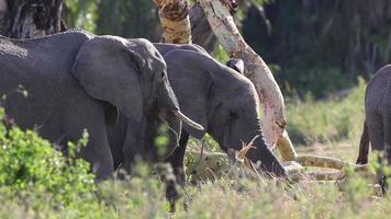 elefanti nel serengeti video